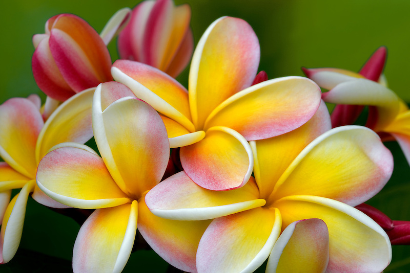 Plumaria or Frangipani bloom. Kauai, Hawaii