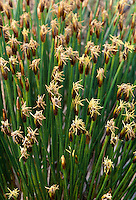 Deer Grass Trichophorum cespitosum (Cyperaceae) Height to 30cm. Tufted relative of sedges that sometimes forms small clumps. Stems are smooth, round and leafless. Inflorescence is an egg-shaped, terminal spikelet. Flowers May-June. On acid moors and heaths. Widespraed in north, local in W.