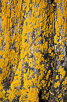 A tree trunk glows with bright yellow lichen.