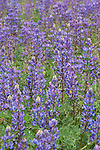 La Jolla, San Diego, California; a field of Arizona Lupine (Lupinus arizonicus) flowering in the springtime