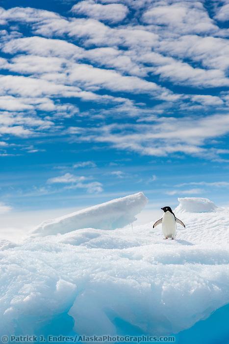 Adelie penguin resta on a floating iceberg in Antarctica.