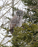 Great grey owl perched in tree top