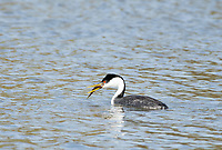 A Western Grebe, Aechmophorus occidentalis, catches a fish in Upper Klamath Lake, Oregon