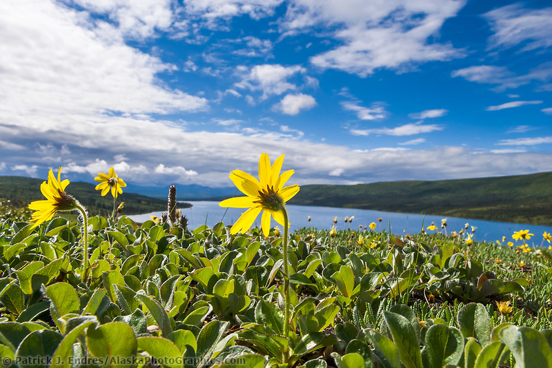 Lessings arnica by Wonder Lake, Denali National Park, Alaska