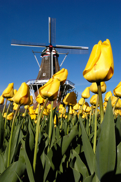 A tulip pictured in front of DeZwaan Windmill at Windmill Island in Holland, Michigan.  The site is a popular destination for tourists attending the annual Tulip Time Festival.