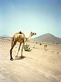 ERITREA, Tio, camels in the desert South of the town of Tio.