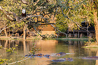 africa, Zambia, South Luangwa National Park,  African fish eagle on the tree and hippos below