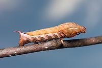Virginia Creeper Sphinx Moth (Darapsa myron) caterpillar (brown form), Great Smoky Mountains National Park