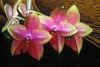 Fragrant phalaenopsis moth orchid Sweet Memory