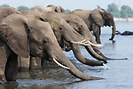 African elephants (Loxodonta africana) drinking, Chobe National Park, Botswana, October 2014