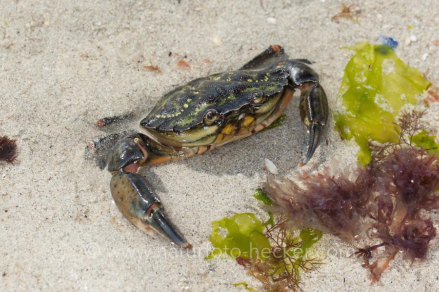 Strandkrabbe, Strand-Krabbe, Dwarslöper, gräbt sich im Sand ein, Krabbe, Krebs, Gemeine Strandkrabbe, Carcinus maenas, shore crab, shore-crab, harbour crab, shorecrab, European green crab, European shore crab, green crab, crab
