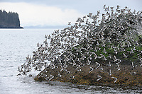 A flock of Surfbirds (Aphriza virgata) take off from the Gravina Rocks in Port Gravina, Prince William Sound, Southcentral Alaska, during their annual spring migration in early May.