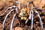Lycosid wolf spider
