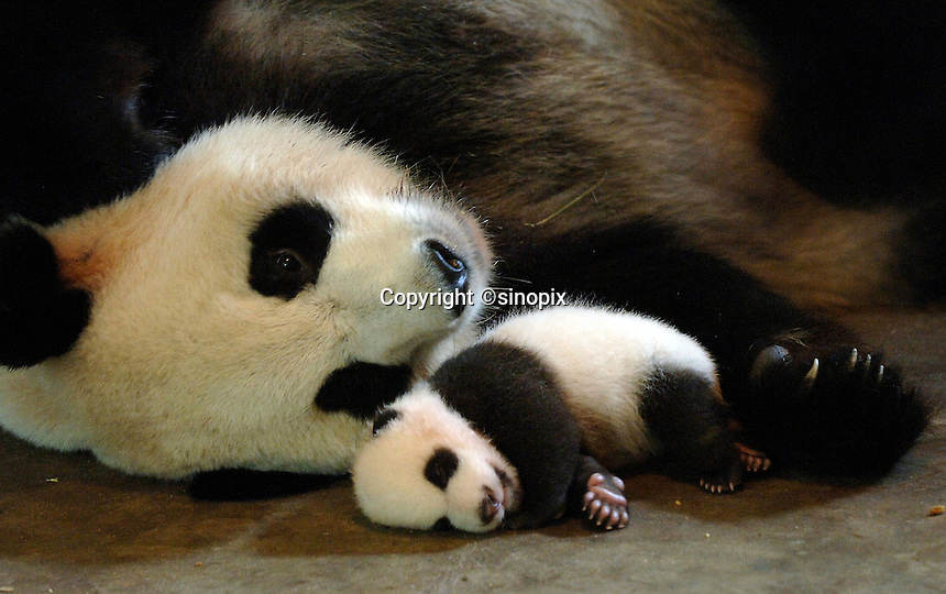 The smallest panda to survive known as Wu Shi Er Ke (which means 51 grams in Chinese) at one month and 19 days old with her mother Qi Zheng. The panda was born at the Chengdu Giant Panda Breeding and Research Institute in Sichuan Province, China. The Institute had a record of ten surviving births this year. Wu Shi Er Ke was born on 6th of August as a twin. Her sister weighted over double her weight and her mother called Qi Zheng was herself the first panda baby to survive an operation. (She had 7 stitches in her stomach after her mother rejected and attacked her just after birth 7 years ago)..25 Sep 2006