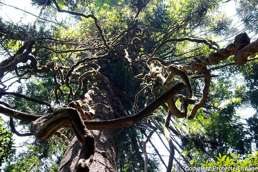 Liana vines, Bunya Mountains National Park, Queensland