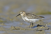 Dunlin Calidris alpina (L 17-21cm) is the yardstick by which all other small waders should be judged. Get to know it in all its different plumages and you will have overcome the biggest hurdle in identification of other similar species. Several different races, with differing bill lengths, occur here outside the breeding season. Forms large flocks in winter. Summer adult has reddish brown back and cap, and whitish underparts with bold black belly and streaking on neck. Male is usually more boldly marked than female. Winter adult has uniform grey upperparts and white underparts. Juvenile has reddish brown and black feathers on the back; pale feather margins align to form 'V' patterns. Underparts are whitish but with black streak-like spots on the flanks and breast; head and neck are brown and streaked. Voice Utters a preeit call; breeding 'song' comprises a series of whistling calls. Status Local breeding species on damp moorland and mountain habitats. Locally abundant outside breeding season due to migrants from Arctic.