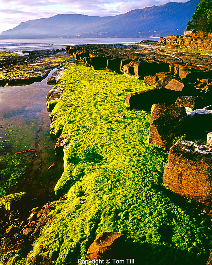 Green tidepool grasses in dawn light, Tessellated Pavement State Reserve, Tasmania, Australia, Shoreline siltstones cracked in square patterns and eroded by the ocean