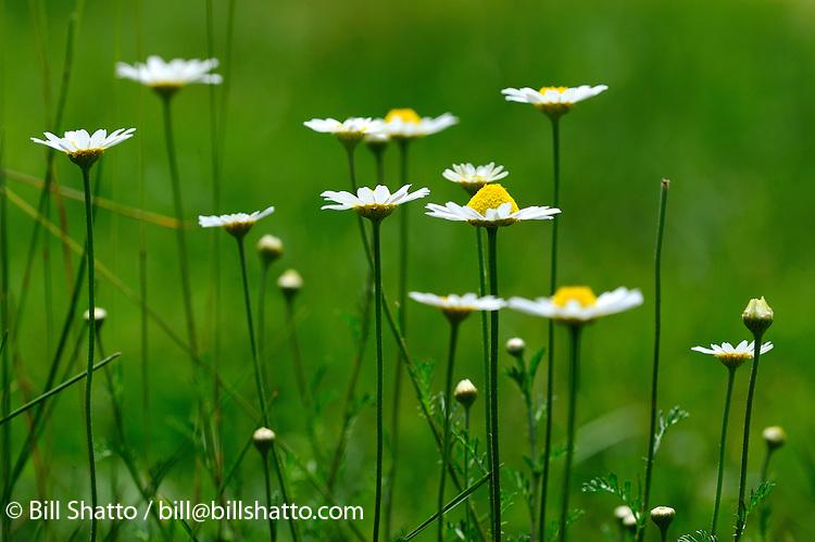 Wild daisies.
