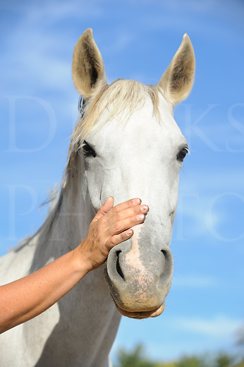 Horse owner lays her hand across the nose of a white horse looking straight in to the camera, concept of affection and bonding between human and animal, head shot with blue sky background, Maryland, MD, USA.