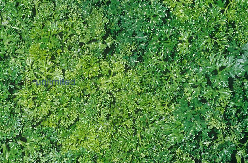 Curley Parsley (Petroselinum crispum), native to Mediterranean Basin.