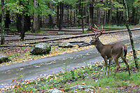 A deer looks at a road in the great smoky mountain national park on a rainy day in autumn.