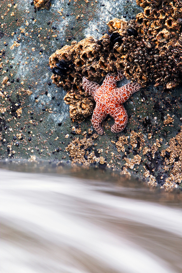Ochre Sea Star on rock above rushing sea water, Mora Beach, Olympic National Park, Olympic Peninsula, Clallam County, Washington, USA