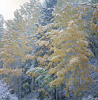 Early snow on fall leaves near Durango, Colorado