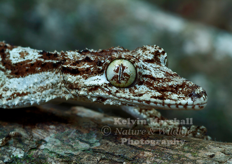 The species Phyllurus are only found here in Australia.The Northern Leaf tailed gecko has 3 isolated populations down the east coast of Australia .This great looking Gecko is as large as any Gecko being 16 cm in length, with some growing to the length of 25cm.The fact that very few adults are found to still have their original tails shows that the gecko do have enemies,this tree dwelling nocturnal animal has sluggish movements and camouflages well with its surroundings. In appearance it's body looks spikey and has thin clawed fingers (digits) helping it climb over rough surfaces. The female of this species lays 2 soft shelled eggs .