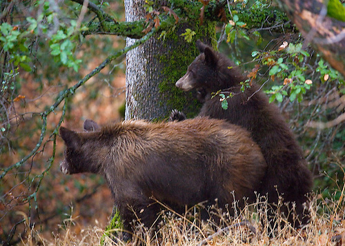 A CURIOUS BLACK BEAR CUB STANDS BESIDE THE MOTHER BEAR IN SEQUOIA NATIONAL PARK