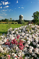 Silo  and wild roses in Marion County Oregon