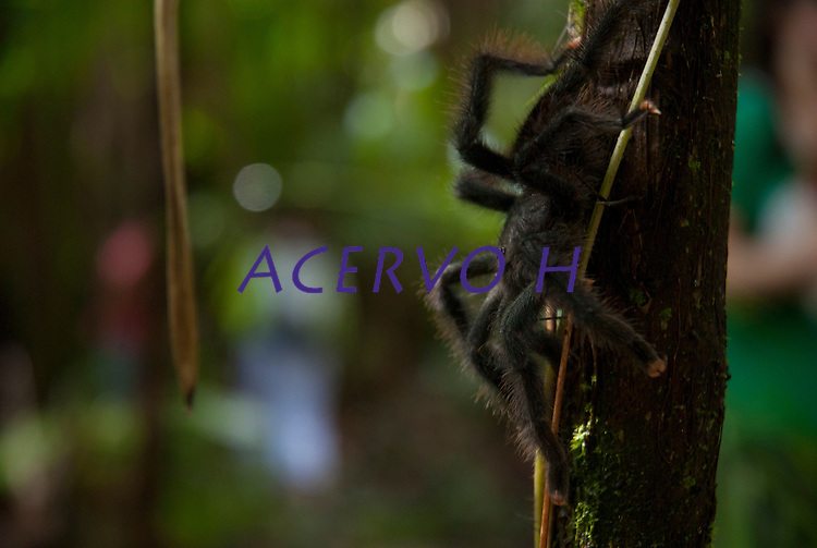 A aranha caranguejeira (Mygalomorphae) possui variado colorido e tamanho, desde milímetros até 20cm de envergadura de pernas. Algumas são muito pilosas. Os acidentes são destituídos de importância médica, sendo conhecida a irritação ocasionada na pele e mucosas devido aos pêlos urticantes, que algumas espécies liberam como forma de defesa. Os pêlos urticantes podem estar concentrados na região posterior do abdome, de 10.000 a 20.000 pêlos por mm.<br /> <br /> Belém, Pará, Brasil<br /> Foto Paulo Santos<br /> 2010