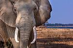 Zimbabwe, Mana Pools National Park, African elephant (Loxodonta africana)