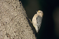 Golden-fronted Woodpecker, Melanerpes aurifrons,female at Oak Tree, New Braunfels, Texas, USA, April 2001