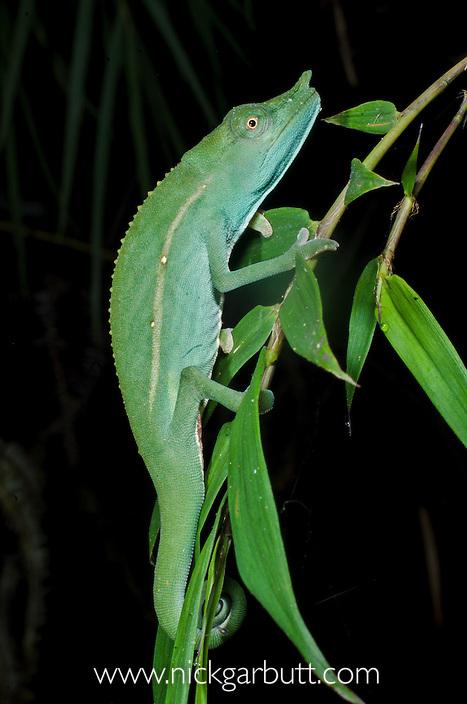 Fork-nosed Chameleon (Calumma furcifer). Vohimanana Forest, eastern Madagascar.