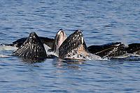 humpback whales, Megaptera novaeangliae, cooperatively bubble-net feeding, Alaska, USA, Pacific Ocean
