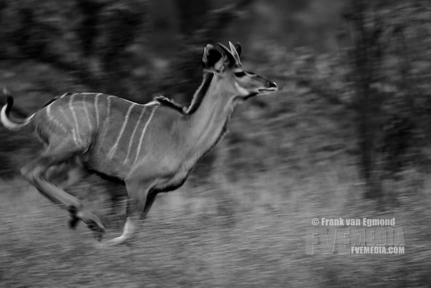 Greater Kudu running (Tragelaphus Strepsiceros)..Bablule Private Nature Reserve, York section..Greater Kruger National Park, Limpopo, South Africa.