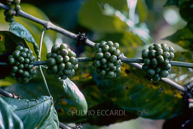 coffee, coffea, arabica, cherries, beans, ripe, plantation, plant, tree, bush, foliage, green, grow, organic, unpicked