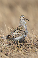 Pectoral Sandpiper - Calidris melanotos - breeding adult