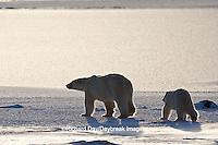 01874-12220 Polar Bear (Ursus maritimus) mother and cub near Hudson Bay  in Churchill Wildlife Management Area, Churchill, MB Canada