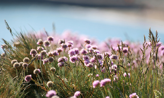 Thrift on the cliffs above freshwater bay, isle of wight