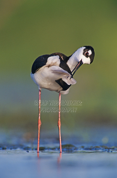 Black-necked Stilt, Himantopus mexicanus,adult preening, Lake Corpus Christi, Texas, USA