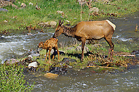 Rocky Mountain Elk--cow with young calf.  Ungulate mothers will frequently lick their young to help stimulate them to go and also to clean them from odor.  Western U.S., June.