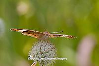 03411-011.08 Common Buckeye Butterfly (Junonia coenia) on Rattlesnake Master (Eryngium yuccifolium) Marion Co., IL