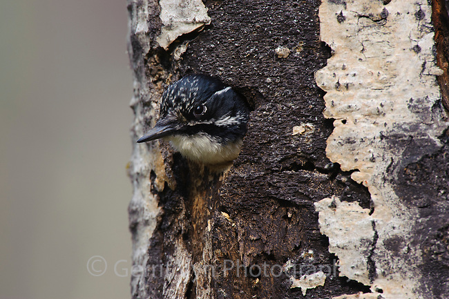 Adult female American Three-toed Woodpecker (Picoides dorsalis) peering from a nest cavity. Alberta, Canada. May.