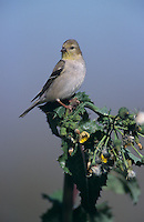 American Goldfinch, Carduelis tristis, adult winter plumage, Welder Wildlife Refuge, Sinton, Texas, USA