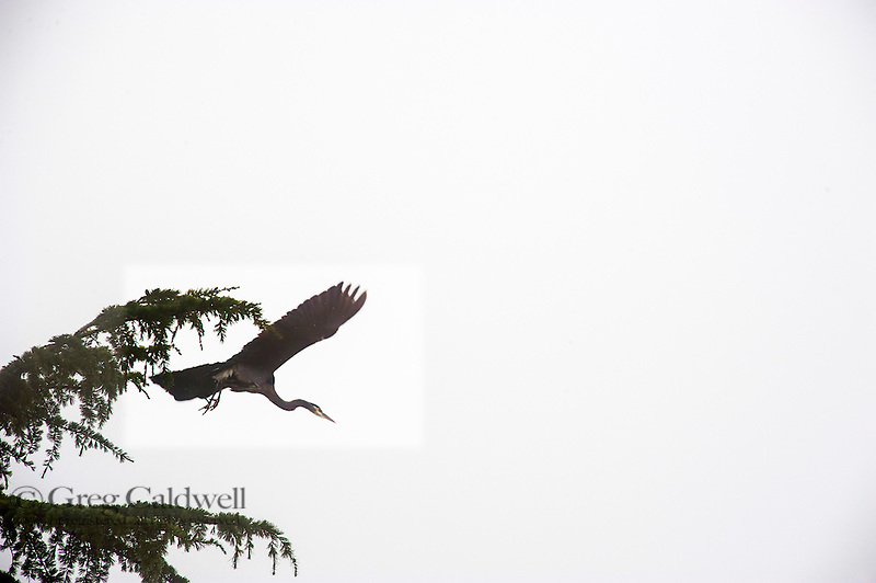 A heron above the fog filled Puget Sound.