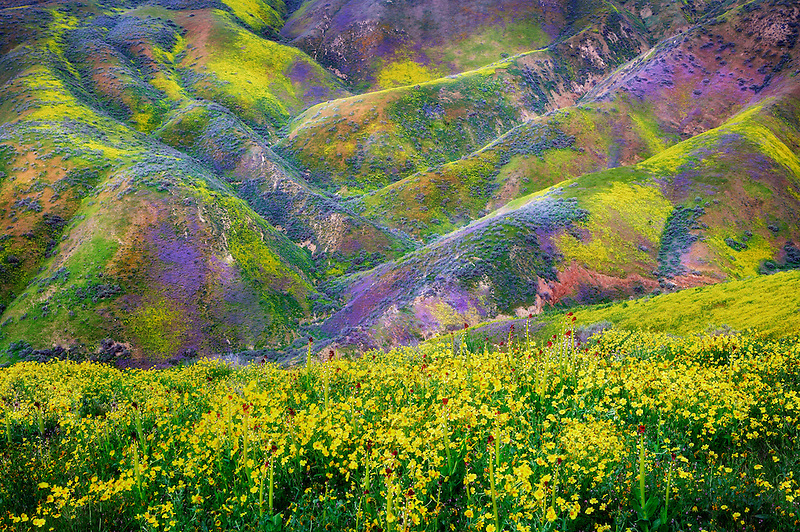 Hilside with yellow Hillside Daisy and purple wildflowers, Carrizo Plain National Monument, California