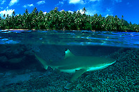 Blacktip reef sharks, Carcharhinus melanopterus, are often seen in very shallow water close to shore.