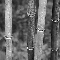 Bamboo forest found in the botanical garden of Malaga, Spain