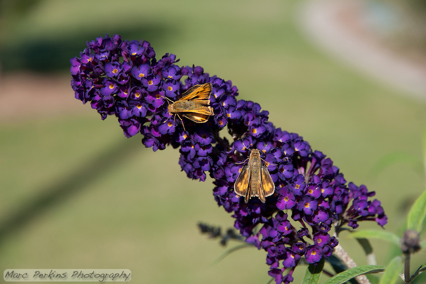 Two butterflies (likely fiery skippers; Hylephila phyleus) on a butterfly bush inflorescence (Buddleia / Buddleja, likely Buddleja davidii 'Black Knight') in front of lawn with a gorgeous bokeh at the Stanton Central Park butterfly garden.